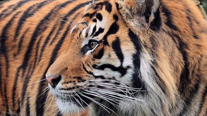 Sumatran tigers at ZSL London Zoo