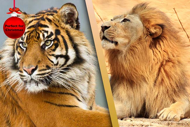 Chessington Trail Of The Kings Big Cat Experience Amp Theme Park Entry Only 163 99
