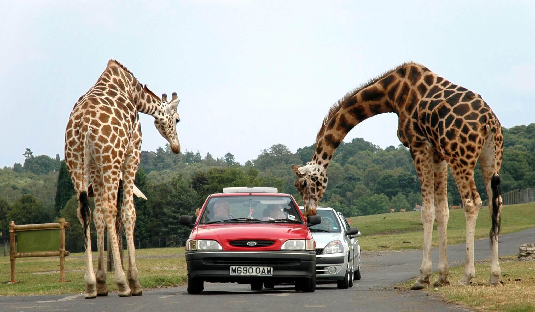 Giraffes_at_west_midlands_safari_park