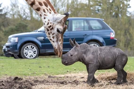 White-Rhino-Calf-West-Midlands-Safari-Park-2016-Ekozu-1
