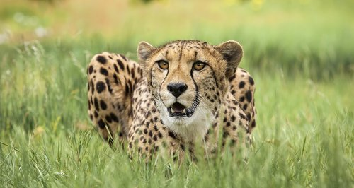 cheetah-at-west-midlands-safari-park-1374067961-large-article-0