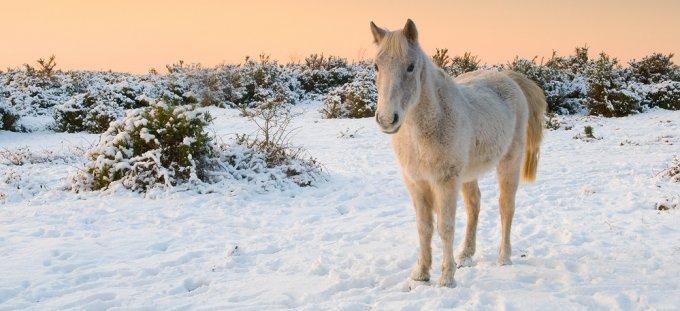 275_white_horse_snow_sunset