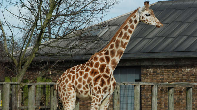 Giraffe at ZSL London Zoo