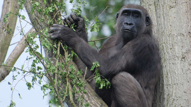 Female gorilla sits in a tree at ZSL London Zoo