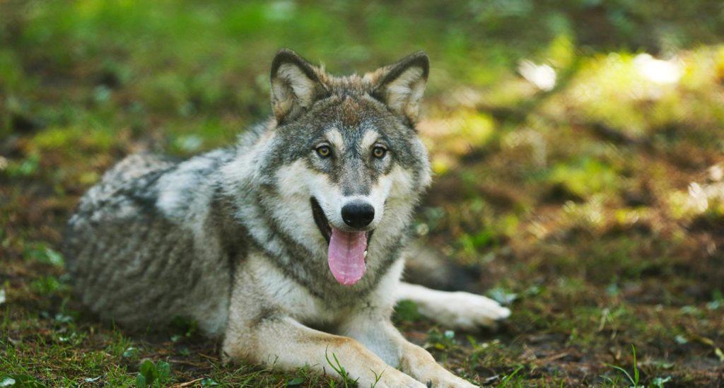 The Eurasian wolf