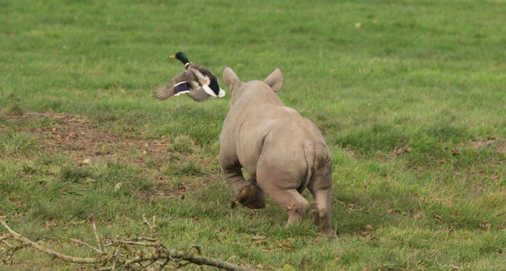 Baby Rhino chasing ducks