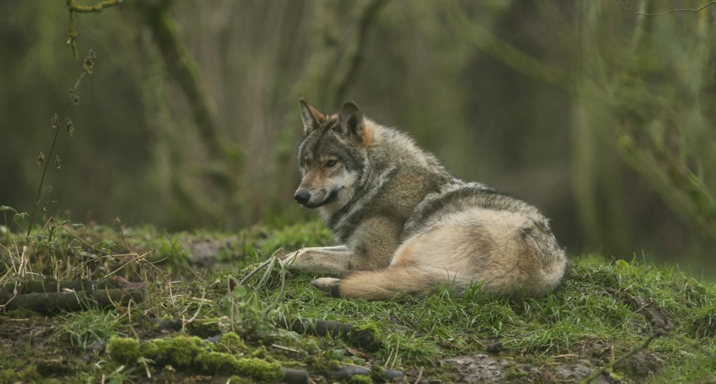 Wolf at Howletts