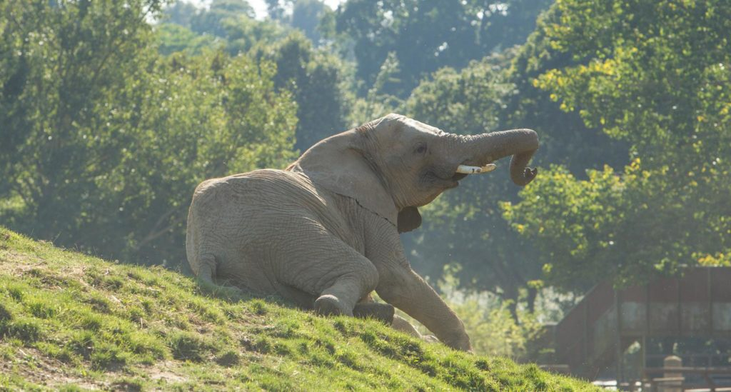 elephants-howletts