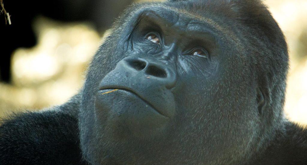howletts-gorillas