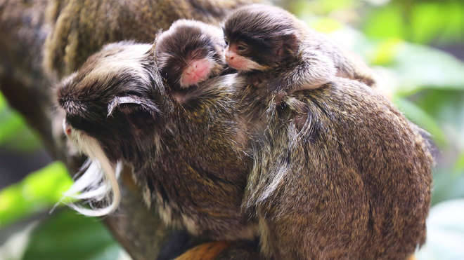 Emperor Tamarin babies at ZSL London Zoo