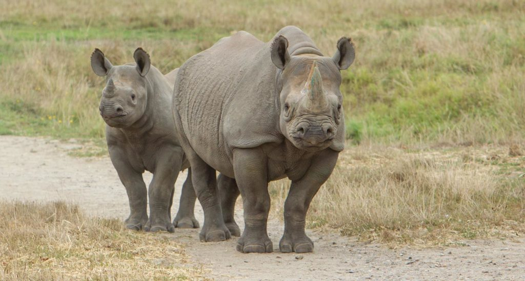 Rhinos at Howletts
