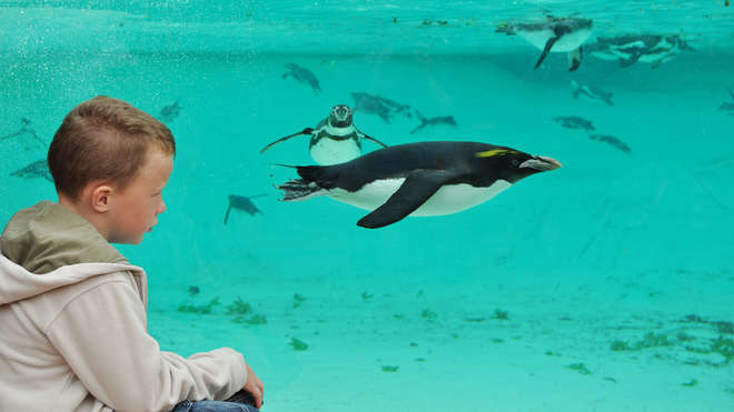 A boy watches a Humboldt penguin at ZSL London Zoo's Penguin Beach