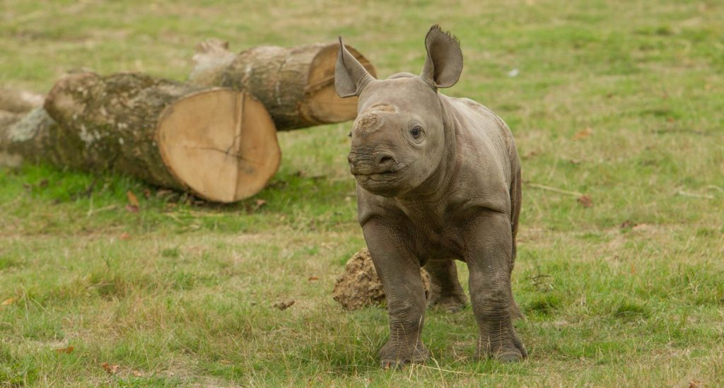 Black Rhino called Zuri
