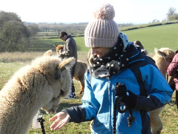 £14 -- 90-minute alpaca walk in the Derbyshire countryside