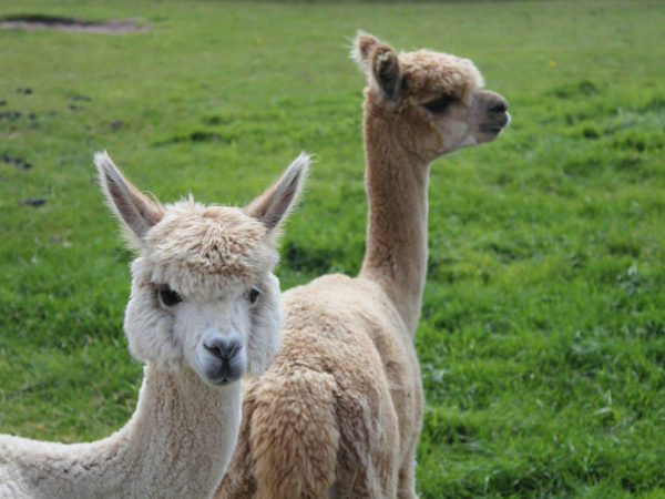£14 for a 60-minute alpaca experience with farm entry for one at White Peak Alpaca Farm, Knutsford