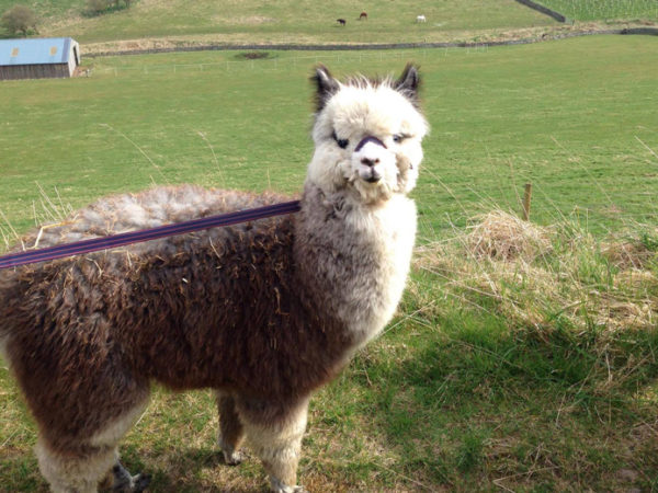 £14 instead of £20 for a 30-minute alpaca experience with a meet and greet and 30-minute trek around the farm for two people at Beirhope Alpacas, Kelso - save 30%