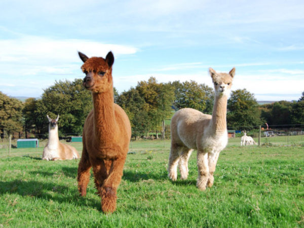 £19 for a farm entry ticket for one adult and one child with alpaca meet and greet and Santa's Grotto, or £37 for two adults and two children at Lucky Tails Alpaca Farm