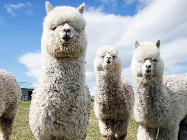 £20 -- Alpaca walk & farm entry for 2, 25% off