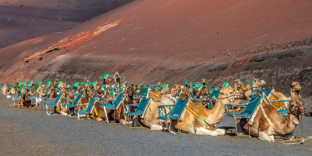 camel ride at lanzarote