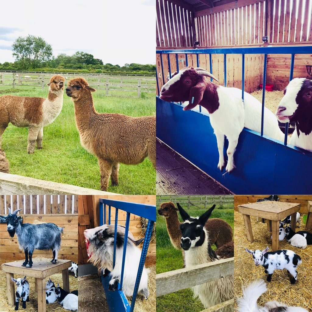 Alpaca and goats at Kid-friendly Beetle Bank Open Farm, York