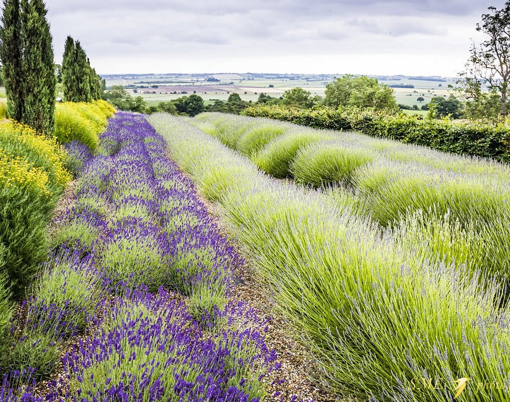 Yorkshire Lavender field