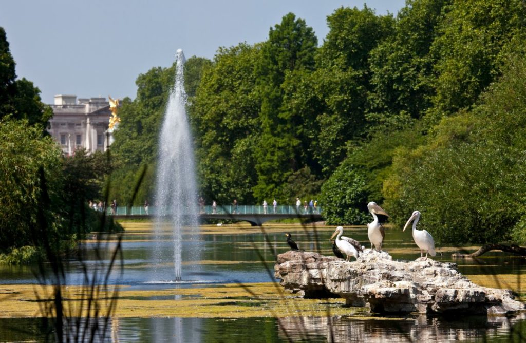 beautiful fountain and pelicans waiting for feeding time at a family park in london, st james's park