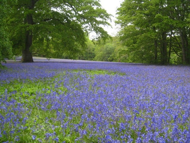 Bluebells at Parc Lye on the Enys Estate