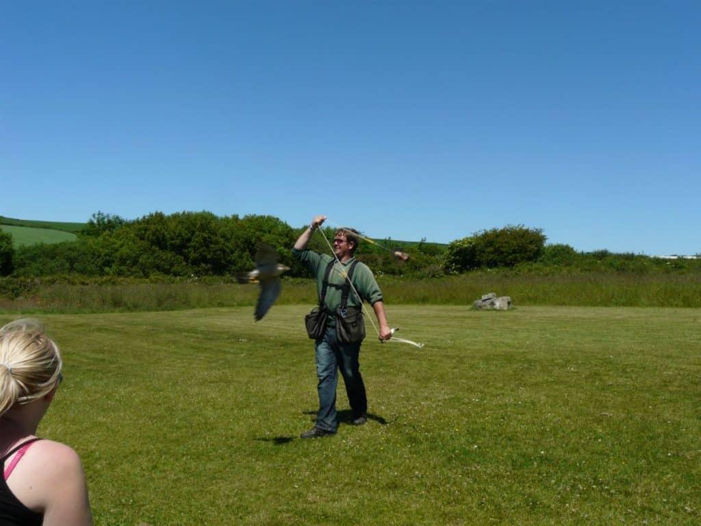 Flying the Peregrine Lanner Crossbreed, Cornish Birds of Prey Centre