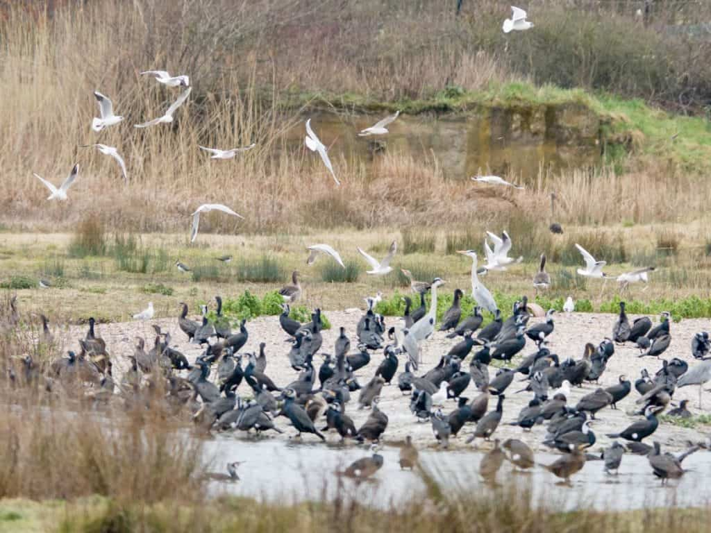 numerous flocks of different birds at family-frendly wwt london wetland centre