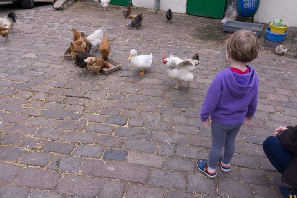 small child looking at chickens and a duck at hackney city farm