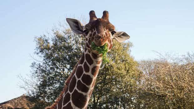 Giraffe ZSL London Zoo